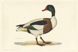 Duck II by John Selby