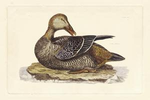 Duck IV by John Selby