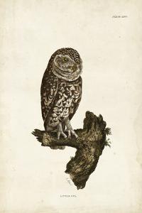 Little Owl by John Selby