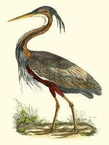 Purple Heron by John Selby