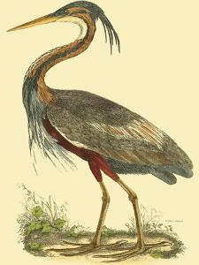 Small Purple Heron by John Selby