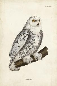 Snowy Owl by John Selby