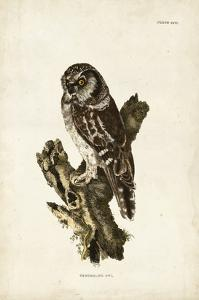 Tengmalm's Owl by John Selby