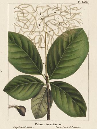 Large Leaved Cotinus