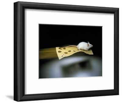 Mouse Flying on Piece of Swiss Cheese