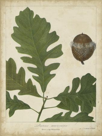 Oak Leaves and Acorns III