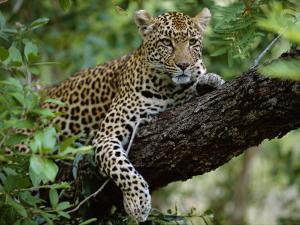 Female Leopard Rests in the Shade, Lying on the Branch of a Tree by John Warburton-lee
