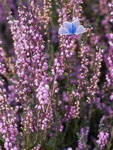 Heather with Butterfly, England by John Warburton-lee