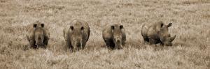 Kenya, Laikipia, Lewa Downs; a Group of White Rhinoceros Feed Together by John Warburton-lee