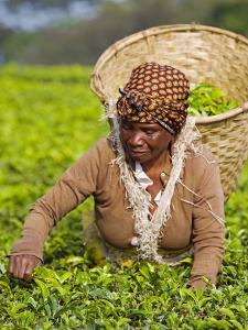 Malawi, Thyolo, Satemwa Tea Estate, a Female Tea Picker Out Plucking Tea by John Warburton-lee