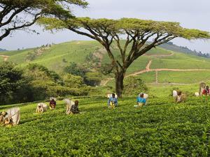 Malawi, Thyolo, Satemwa Tea Estate, Workers Plucking Tea by John Warburton-lee