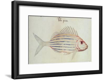 Blue Striped Grunt Fish