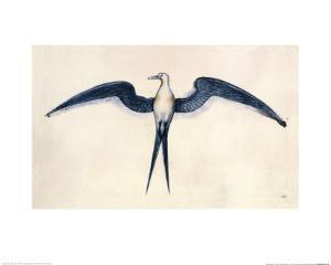 Frigate Bird by John White
