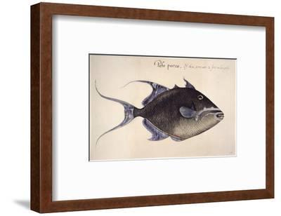 Trigger-Fish, 1585