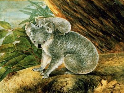 Koala and Young, 1803