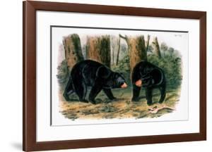 American Black Bear, 1844 by John Woodhouse Audubon