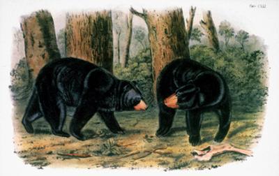 American Black Bear, 1844