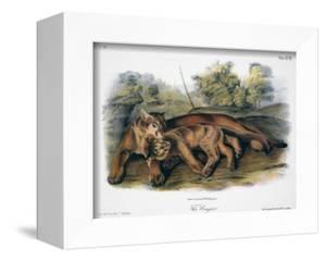 Audubon: The Cougar by John Woodhouse Audubon