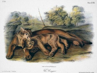 Audubon: The Cougar