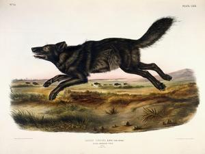 Black American Wolf, Male, 1845 by John Woodhouse Audubon