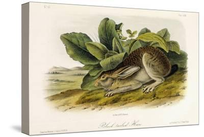 Black-Tailed Hare, C.1849-1854