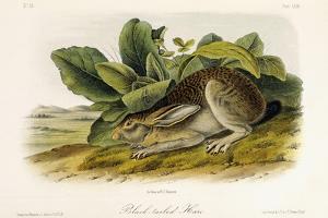 Black-Tailed Hare, C.1849-1854 by John Woodhouse Audubon