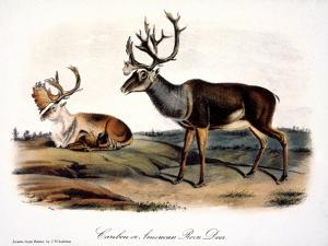 Caribou (Rangifer Caribou) by John Woodhouse Audubon