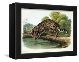 Felis Pardalis (Ocelot or Leopard-Cat), Plate 86 from 'Quadrupeds of North America', Engraved by… by John Woodhouse Audubon