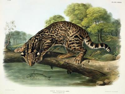 Felis Pardalis (Ocelot or Leopard-Cat), Plate 86 from 'Quadrupeds of North America', Engraved by…