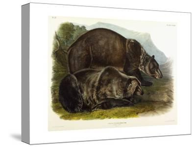 Male Grizzly Bear, 1848
