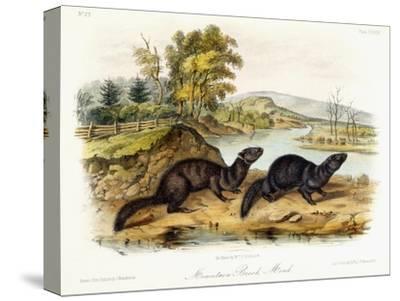 Mountain Brook Mink, C.1849-1854