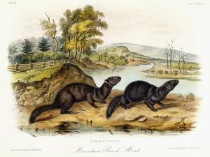 Mountain Brook Mink, C.1849-1854 by John Woodhouse Audubon