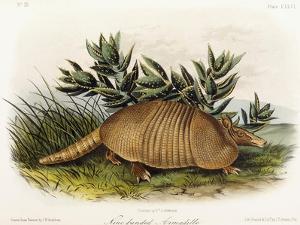 Nine-Banded Armadillo, 1849-1854 by John Woodhouse Audubon