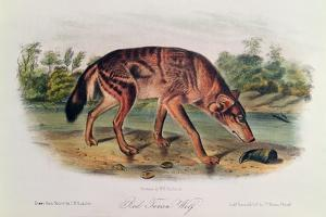 Red Wolf from 'Quadrupeds of North America', 1842-45 by John Woodhouse Audubon