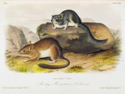Rocky Mountain Neotoma, Plate 29 from 'Quadrupeds of North America', Engraved by R. Trembly by John Woodhouse Audubon