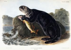 Sea Otter, Young Male, 1848 by John Woodhouse Audubon