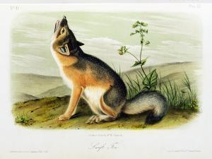 Swift Fox, Plate 52 from 'Quadrupeds of North America', Engraved by W.E. Hitchcock by John Woodhouse Audubon