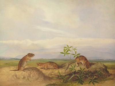 Townsend's Meadow Mouse, Meadow Vale and Swamp Rice Rat (Or Rice Meadow House) by John Woodhouse Audubon