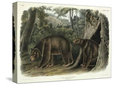 Ursus Americanus, Var. Cinnamonum (Cinnamon Bear), Plate 127 from 'Quadrupeds of North America',…