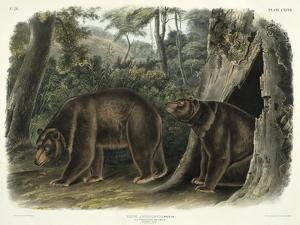 Ursus Americanus, Var. Cinnamonum (Cinnamon Bear), Plate 127 from 'Quadrupeds of North America',… by John Woodhouse Audubon