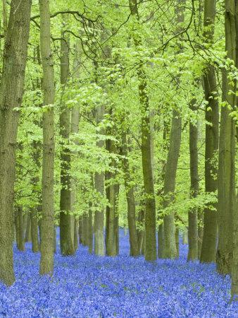 Spring Bluebells in Beech Woodland, Dockey Woods, Buckinghamshire