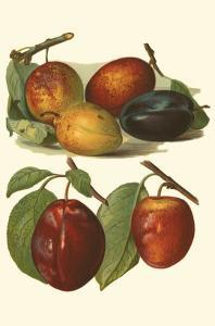 Plum Varieties I by John Wright