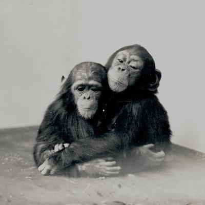 Johnnie and a Friend, Two of ZSL London Zoo's Chimpanzees, 1923-Frederick William Bond-Photographic Print