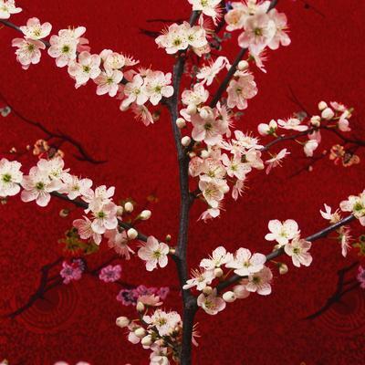 Prunus, Cherry Tree