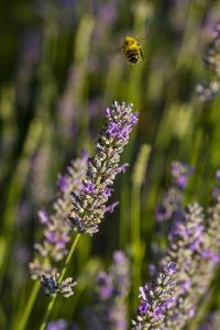 Bremerton, Washington State. Bee flying above blooming lavender by Jolly Sienda