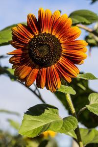 Bremerton, Washington State. Burnt orange sunflower and green stem by Jolly Sienda