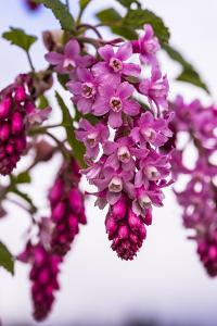 Bremerton, Washington State. cluster of pink current flowers by Jolly Sienda