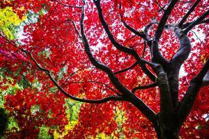 Bremerton, Washington State. Red maple tree by Jolly Sienda