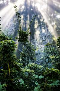 Bremerton, Washington State. Tangled spider webs hang from trees by Jolly Sienda