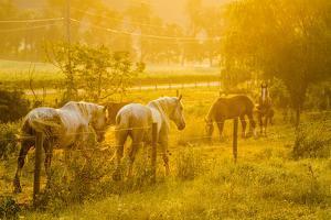 Lancaster County, Pennsylvania. Team of horses walking along a fence by Jolly Sienda